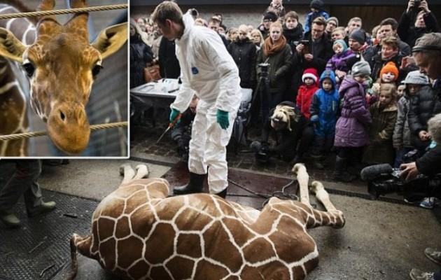 Φρίκη σε ζωολογικό κήπο, σκότωσαν καμηλοπάρδαλη και την έδωσαν για τροφή στα λιοντάρια (προσοχή σκληρές εικόνες)