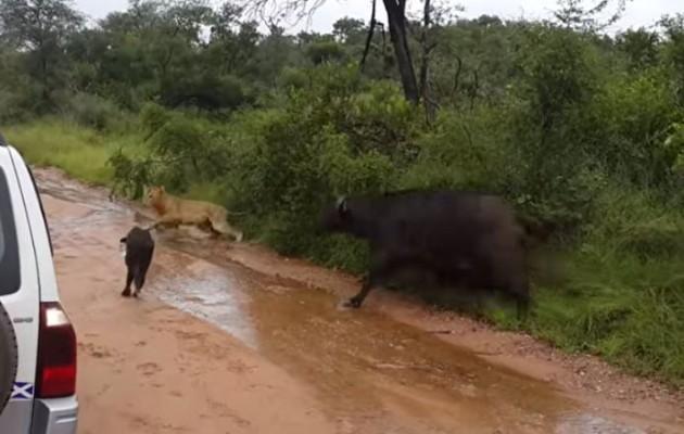 Το έσωσε από τα δόντια του… λιονταριού (βίντεο)