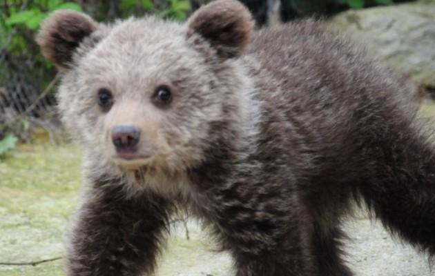 Αρκτούρος: Η μικρή αρκουδίτσα Ζωή κερδίζει την μάχη