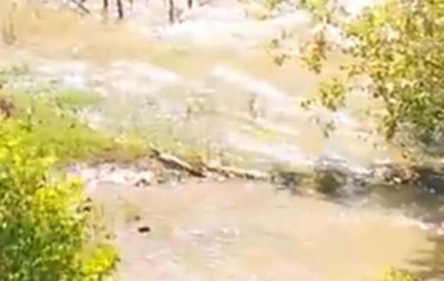 Ανατριχίλα: Δείτε το πρώτο βίντεο με τον κροκόδειλο του Ρεθύμνου (βίντεο)