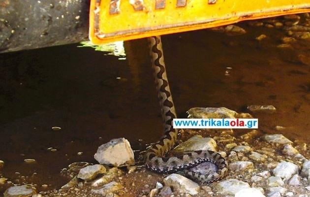 Τρίκαλα: Ταξίδευε μαζί με μια… οχιά