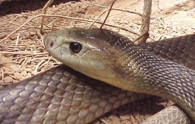 Τρίκαλα: Δέχθηκαν «επίθεση» από φίδι 2 μέτρων σε καφετέρια (εικόνα)
