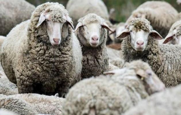 Συνελήφθη 61χρονος στη Λάρνακα που είχε «πάει» με ένα κοπάδι πρόβατα – Τον έπιασε κρυφή κάμερα