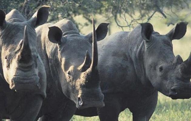 ΣΟΚ! Σε δύο χρόνια οι ρινόκεροι θα έχουν εξαφανιστεί