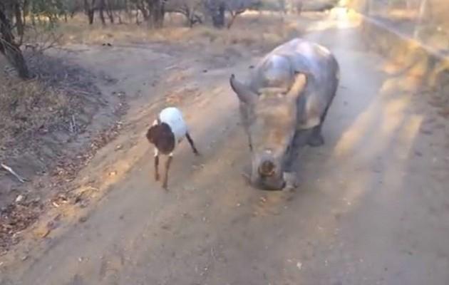 Μωρό ρινόκερος και μικρή κατσίκα: δύο κολλητοί φίλοι (βίντεο)