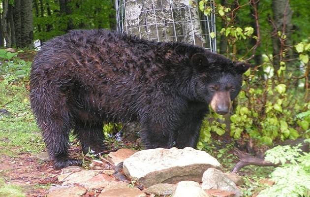 Ο Γιώργος, η 27χρονη αρκούδα που φρόντιζε ο «Αρκτούρος», έφυγε από τη ζωή