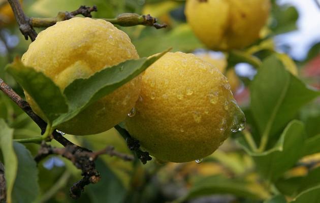 Ν. ΙΝΚΑ: Τα ελληνικά λεμόνια σαπίζουν στα δέντρα και εισάγουμε τούρκικα