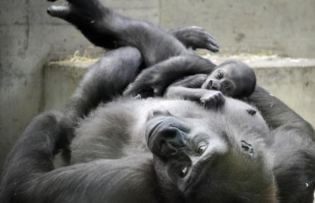 Covid-19: Πίθηκοι που μολύνθηκαν απέκτησαν ανοσία