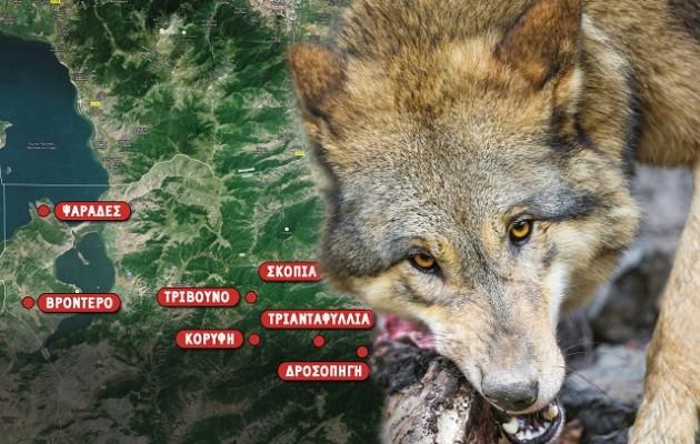 Eπιθέσεις λύκων στις Πρέσπες – Σκοτώνουν και τρώνε κυνηγόσκυλα