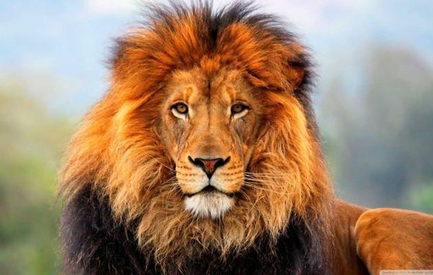 Λιοντάρια έφαγαν άνθρωπο: Έμεινε μόνο το κρανίο και το παντελόνι του