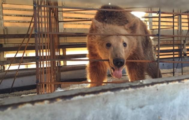 Τρεις ανήλικες αρκούδες από την Αλβανία στο Νυμφαίο