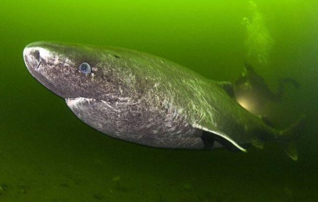 Απίστευτο! Ο καρχαρίας της Γροιλανδίας ζει μέχρι 400 ή 500 χρόνια