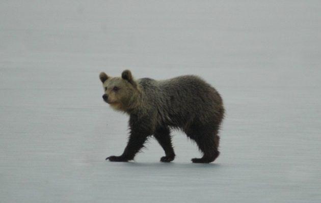 Ένα αρκουδάκι έκανε επί ώρες βόλτα πάνω στην παγωμένη λίμνη της Καστοριάς
