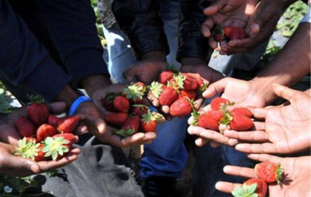 """Βαριά """"καμπάνα"""" από το ΕΔΑΔ στην Ελλάδα για τα φραουλοχώραφα της Μανωλάδας"""