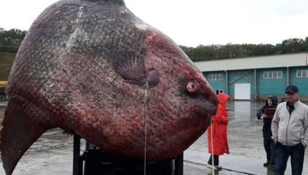 Ψάρεψαν φεγγαρόψαρο γίγαντα στη Ρωσία και το έδωσαν τροφή στις αρκούδες – Έξαλλοι οι επιστήμονες