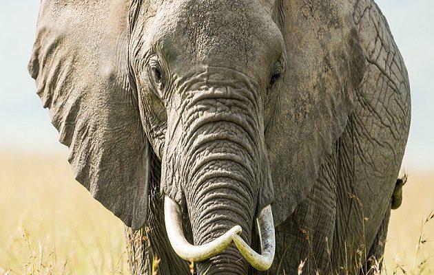 Σοκ στη Δυτική Βεγγάλη: Ελέφαντας ποδοπάτησε 40χρονο μέχρι θανάτου! (βίντεο)