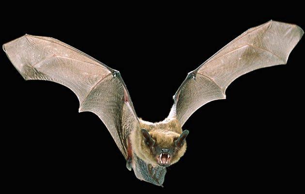 Επιστήμονες ψάχνουν τον κορωνοϊό σε νυχτερίδες στη βόρεια Καμπότζη