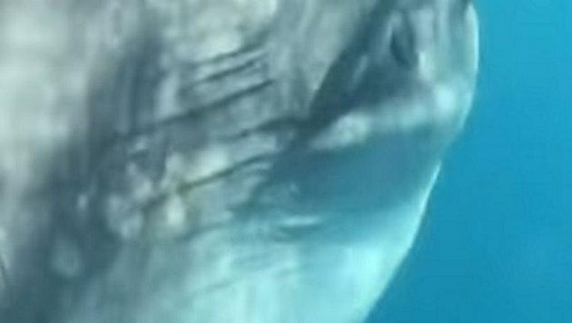 Ένα από τα μεγαλύτερα ψάρια του κόσμου εμφανίστηκε στη Ζάκυνθο (βίντεο)
