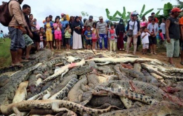 Έσφαξαν 300 κροκόδειλους στην Ινδονησία για να πάρουν… εκδίκηση (φωτο)