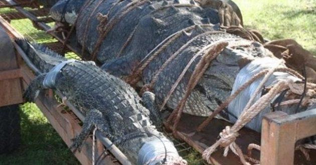 Κροκόδειλος 600 κιλών που οι Αρχές αναζητούσαν επί 8 χρόνια πιάστηκε στην Αυστραλία