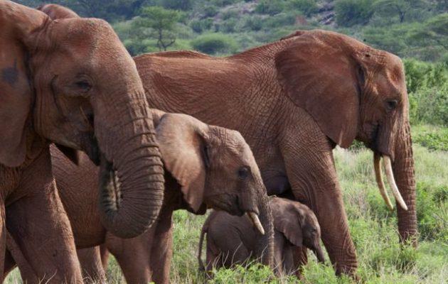90 ελέφαντες σφαγιάστηκαν από λαθροθήρες στη Μποτσουάνα – Τους πήραν χαυλιόδοντες και προβοσκίδες