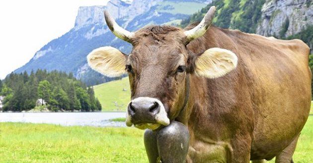 Δημοψήφισμα για το… κέρατο των αγελάδων στην Ελβετία