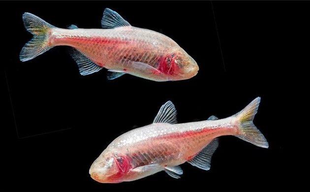 Το ψάρι που κρύβει μυστικά για την ανθρώπινη καρδιά – Τι ανακάλυψαν επιστήμονες