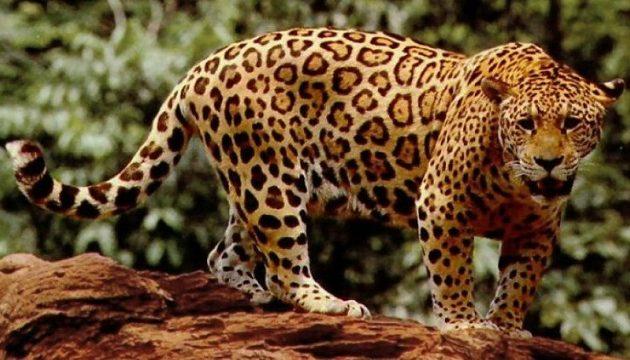 Φρίκη στην Ινδία: Λεοπάρδαλη έφαγε βρέφος την ώρα που κοιμόταν