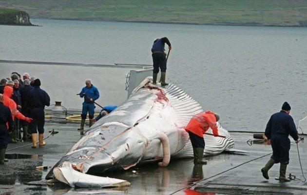 Η Ισλανδία θα σκοτώσει 2.000 φάλαινες – Αντιδρoύν οι φιλοζωικές οργανώσεις