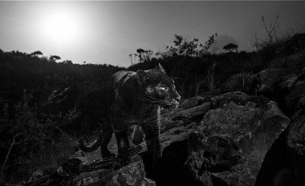 Μαύρη λεοπάρδαλη εμφανίστηκε στην Αφρική πρώτη φορά μετά από 100 χρόνια (φωτο)