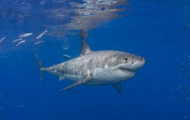 Ο λευκός καρχαρίας κρύβει το μυστικό κατά του καρκίνου