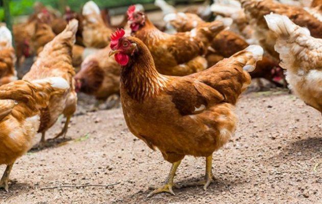 Κότες σκότωσαν αλεπού στη Γαλλία