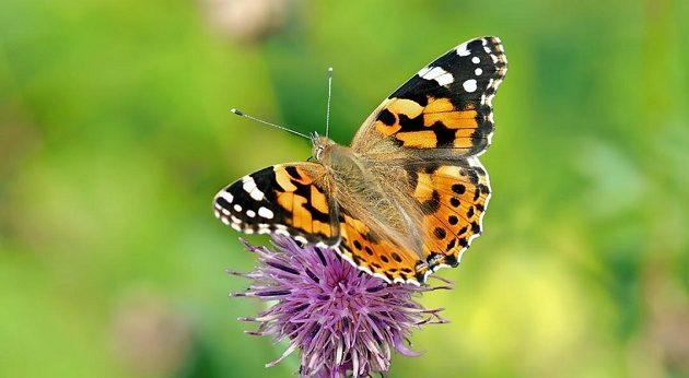 Εκατομμύρια πεταλούδες κατέκλυσαν την Κύπρο (βίντεο)