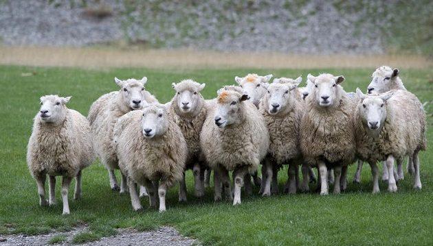Κτηνοτρόφος καταδικάστηκε γιατί χτυπούσε πρόβατά του με γροθιές στο κεφάλι