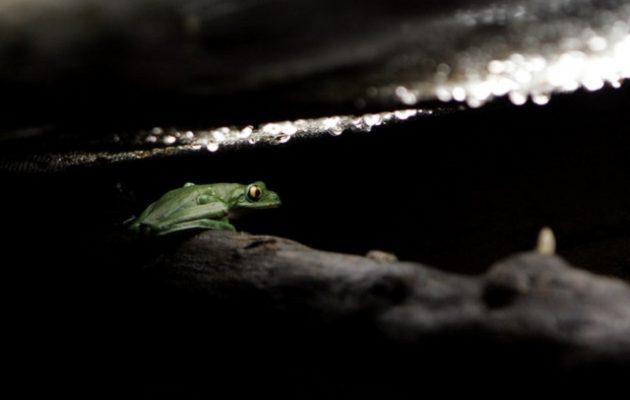Σπάνιο εύρημα: Ανακαλύφθηκε νέο είδος βατράχου στην Ινδία