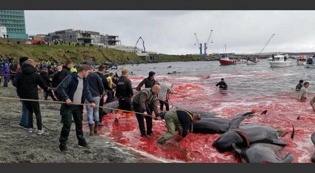 Στα Νησιά Φερόε σφάζουν φάλαινες και η θάλασσα είναι κόκκινη από το αίμα