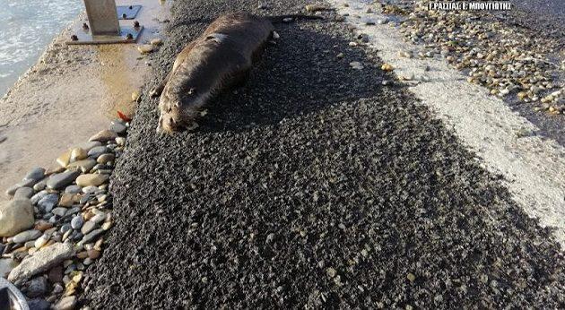 Ένα από τα πιο σπάνια θηλαστικά στην Ευρώπη βρέθηκε νεκρό στην Αργολίδα