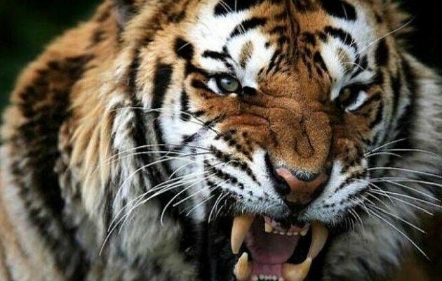 Ελβετία: Τίγρης της Σιβηρίας σκότωσε γυναίκα φύλακα ζωολογικού κήπου