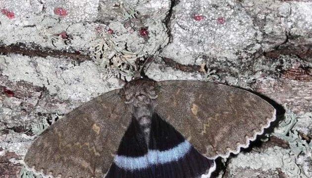 Επιστήμονες στο Τσερνόμπιλ ανακάλυψαν πεταλούδα σε μέγεθος πουλιού