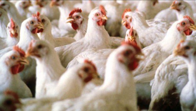 Πρώτη Σερρών: Κότες γενούν αβγά με… φασκόμηλο