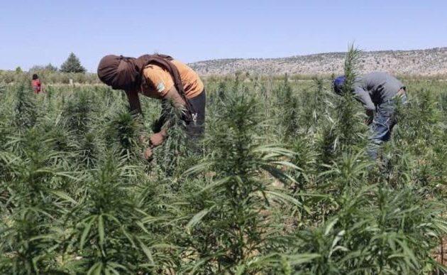 Οι μισθοφόροι των Τούρκων καλλιεργούν κάνναβη στην κατεχόμενη Β/Α Συρία – Μεγάλες χασισοφυτείες