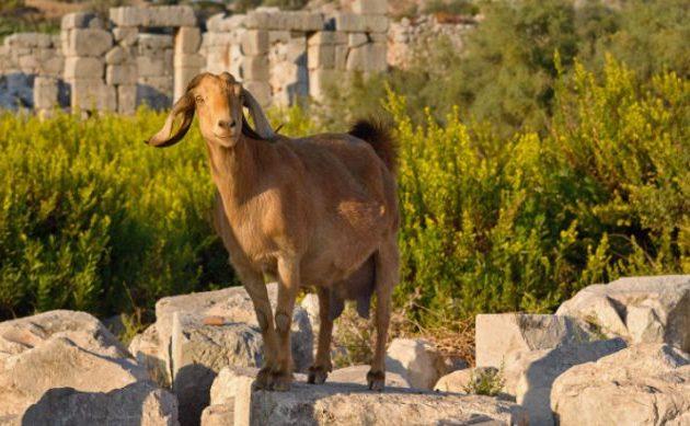 Οι κατσίκες εξημερώθηκαν πριν περίπου 10.000 χρόνια
