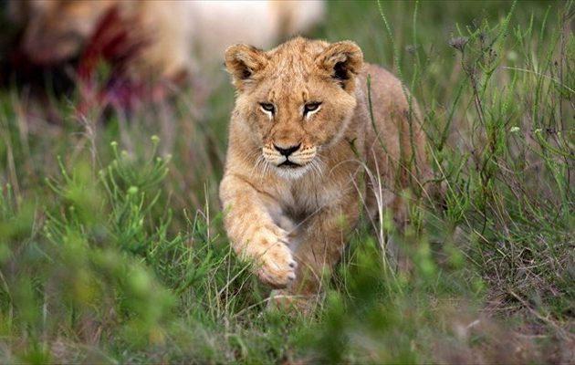 ΗΠΑ: Με κορωνοϊό έξι λιοντάρια και τρεις τίγρεις στο ζωολογικό κήπο της Ουάσιγκτον