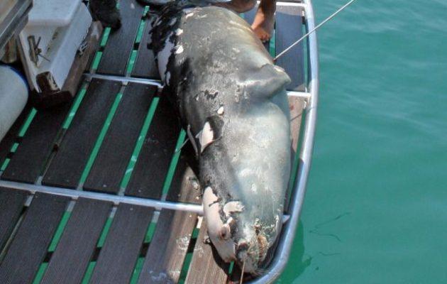 Σκότωσαν με ψαροντούφεκο τη φώκια μασκότ της Αλοννήσου – Αναζητείται ο δράστης